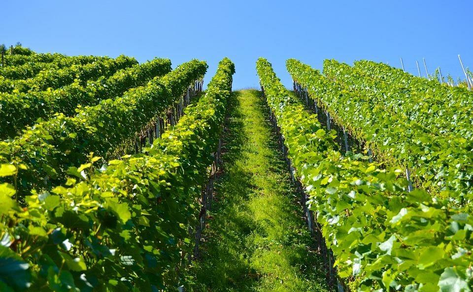 110.000 гектаров виноградников