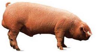 Белая свинка для хамона серрано