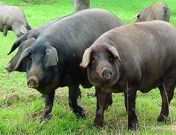 Иберийская свинка