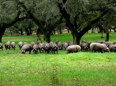 Свинки у дуба в испании